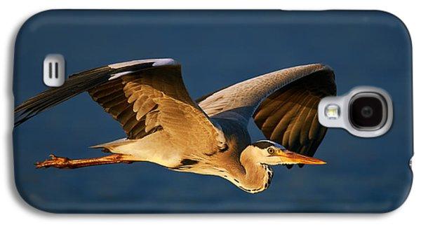 Glides Galaxy S4 Cases - Grey heron in flight Galaxy S4 Case by Johan Swanepoel
