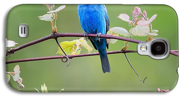 Indigo Bunting Perched Square Galaxy S4 Case by Bill Wakeley