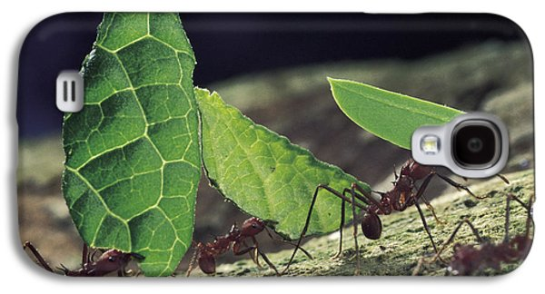 Ants Galaxy S4 Cases - Leafcutter Ant Atta Cephalotes Workers Galaxy S4 Case by Mark Moffett