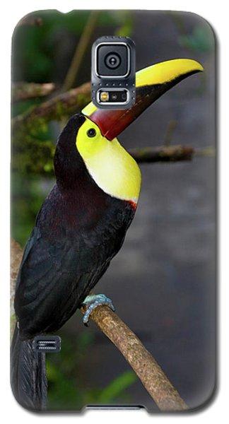 Chestnut-mandibled Toucan, Ramphastos Galaxy S5 Case by Thomas Wiewandt