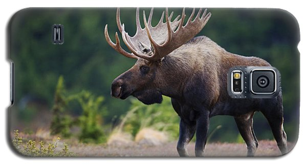 Moose Bull Walking On Autumn Tundra Galaxy S5 Case by Milo Burcham