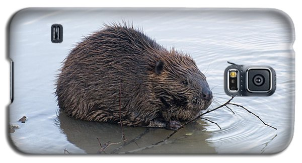 Beaver Chewing On Twig Galaxy S5 Case by Chris Flees