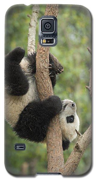 Giant Panda Cub In Tree Chengdu Sichuan Galaxy S5 Case by Katherine Feng