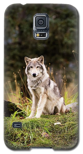Grey Wolf  Canis Lupus  Pup Roams It S Galaxy S5 Case by Doug Lindstrand