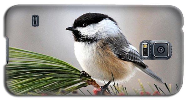 Pine Chickadee Galaxy S5 Case by Christina Rollo