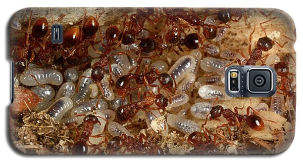 Red Ants With Larvae Galaxy S5 Case by Nigel Downer