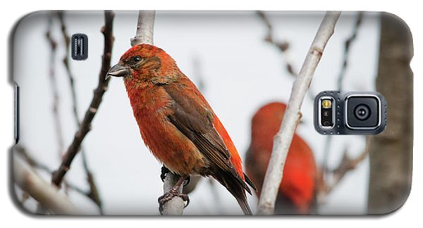 Red Crossbills Perch In A Willow Galaxy S5 Case by Robert L. Potts