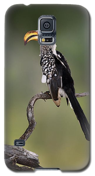 Southern Yellowbilled Hornbill Galaxy S5 Case by Johan Swanepoel
