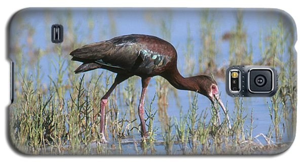 White-faced Ibis Galaxy S5 Case by Anthony Mercieca