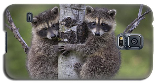 Raccoon Two Babies Climbing Tree North Galaxy S5 Case by Tim Fitzharris