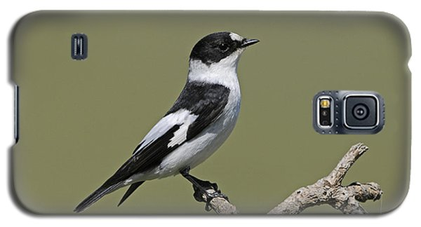 Collared Flycatcher Galaxy S5 Case by Richard Brooks/FLPA
