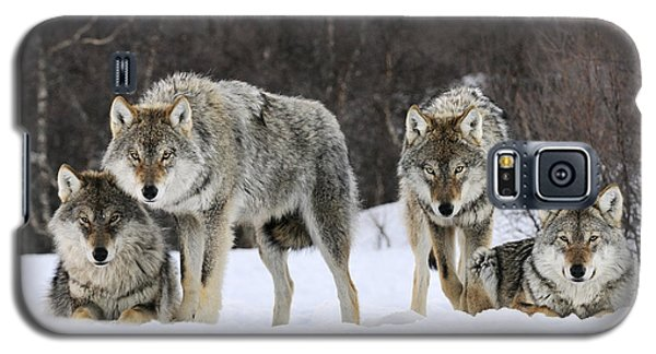 Gray Wolf Canis Lupus Group, Norway Galaxy S5 Case by Jasper Doest