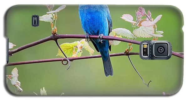 Indigo Bunting Perched Square Galaxy S5 Case by Bill Wakeley