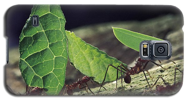 Leafcutter Ant Atta Cephalotes Workers Galaxy S5 Case by Mark Moffett