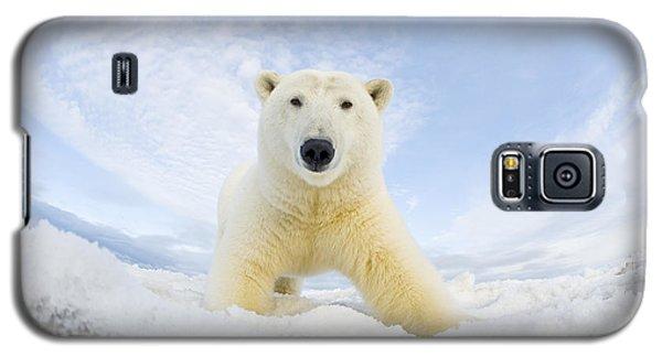 Polar Bear  Ursus Maritimus , Curious Galaxy S5 Case by Steven Kazlowski