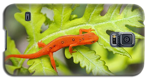 Red Eft Eastern Newt Galaxy S5 Case by Christina Rollo