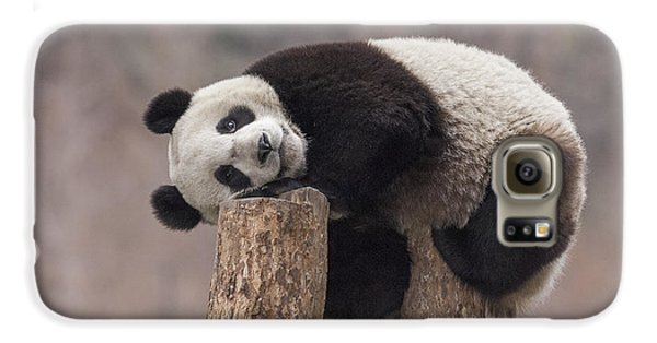 Giant Panda Cub Wolong National Nature Galaxy S6 Case by Katherine Feng