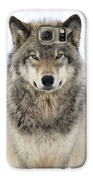Timber Wolf Portrait Galaxy S6 Case by Tony Beck