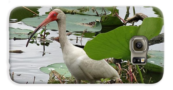American White Ibis In Brazos Bend Galaxy S6 Case by Dan Sproul