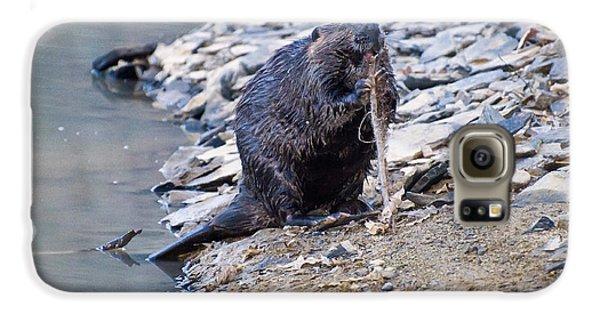 Beaver Sharpens Stick Galaxy S6 Case by Chris Flees