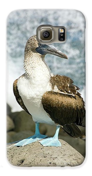 Blue-footed Booby Galaxy S6 Case by Daniel Sambraus