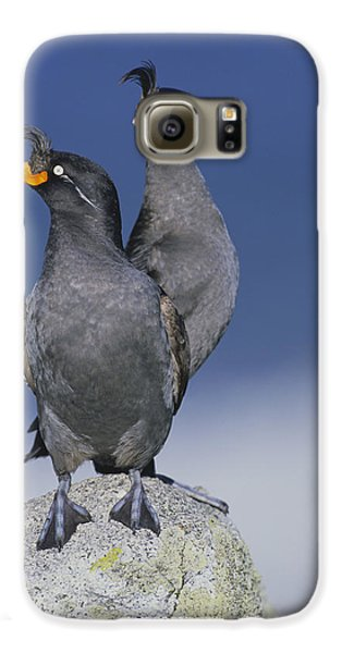 Crested Auklet Pair Galaxy S6 Case by Toshiji Fukuda
