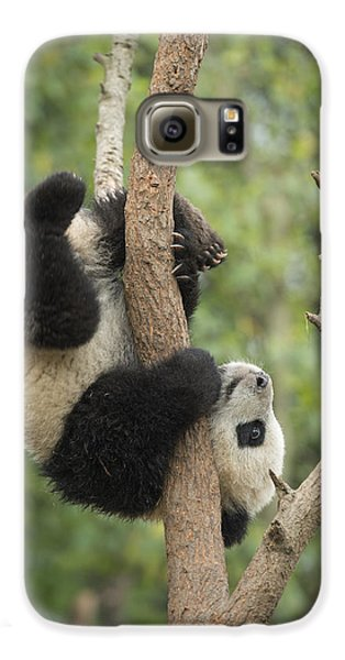Giant Panda Cub In Tree Chengdu Sichuan Galaxy S6 Case by Katherine Feng