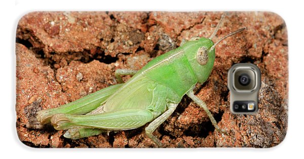 Grasshopper Aiolopus Strepens Nymph Galaxy S6 Case by Nigel Downer