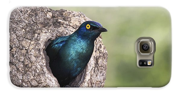 Greater Blue-eared Glossy-starling Galaxy S6 Case by Andrew Schoeman
