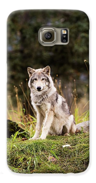 Grey Wolf  Canis Lupus  Pup Roams It S Galaxy S6 Case by Doug Lindstrand