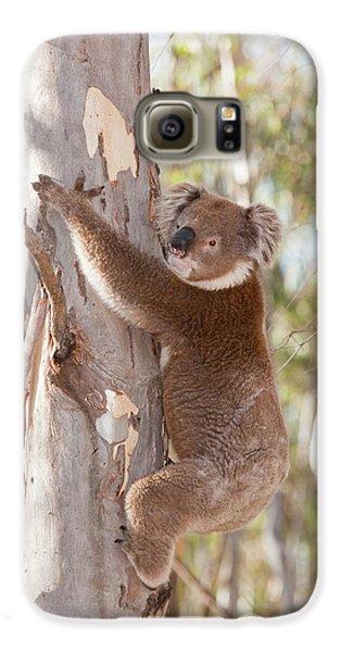 Koala Bear Galaxy S6 Case by Ashley Cooper
