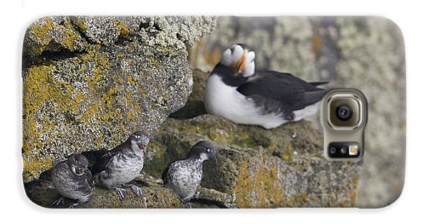Least Auklets Perched On A Narrow Ledge Galaxy S6 Case by Milo Burcham