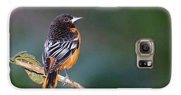 Male Baltimore Oriole, Icterus Galbula Galaxy S6 Case by Thomas Wiewandt