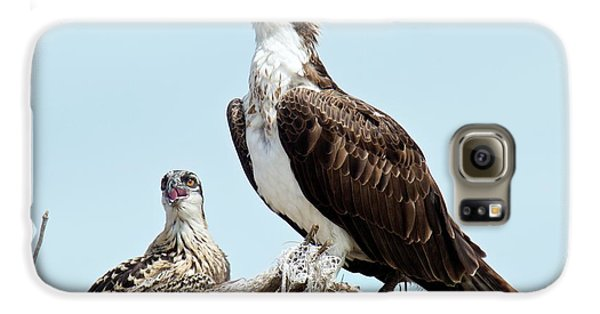Osprey And Chick Galaxy S6 Case by Bob Gibbons