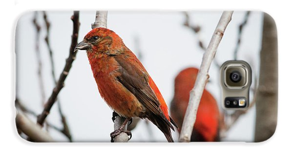 Red Crossbills Perch In A Willow Galaxy S6 Case by Robert L. Potts