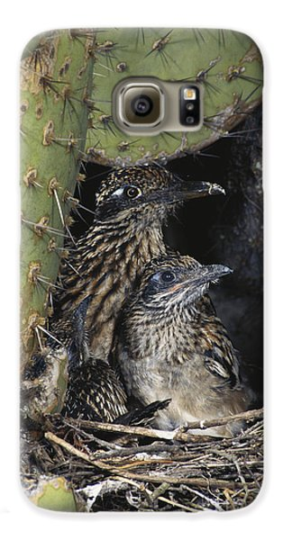 Roadrunners In Nest Galaxy S6 Case by Anthony Mercieca
