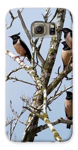 Rosy Starling (sturnus Roseus) Galaxy S6 Case by Photostock-israel