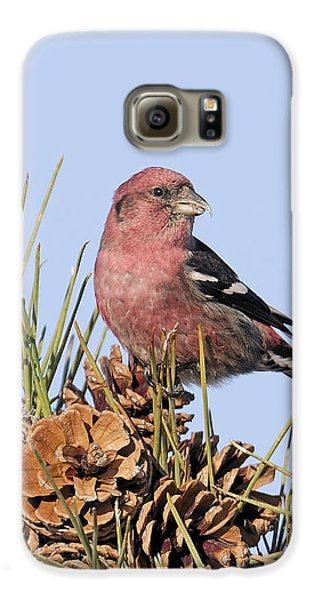 White-winged Crossbill On Pine Galaxy S6 Case by Allan Rube