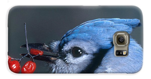 Blue Jay Galaxy S6 Case by Photo Researchers, Inc.