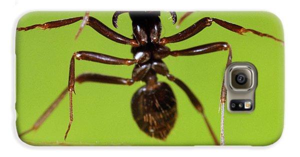 Japanese Slave-making Ant Polyergus Galaxy S6 Case by Satoshi Kuribayashi