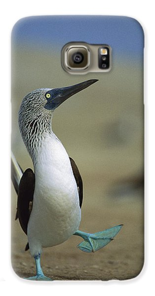 Blue-footed Booby Sula Nebouxii Galaxy S6 Case by Tui De Roy