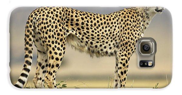 Cheetah Acinonyx Jubatus On Termite Galaxy S6 Case by Winfried Wisniewski