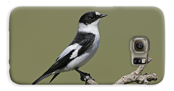 Collared Flycatcher Galaxy S6 Case by Richard Brooks/FLPA