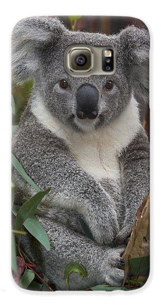 Koala Phascolarctos Cinereus Galaxy S6 Case by Zssd