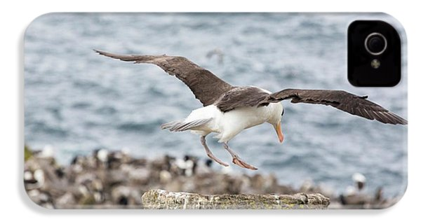 A Black Browed Albatross IPhone 4 / 4s Case by Ashley Cooper