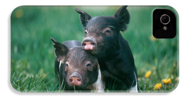 Domestic Piglets IPhone 4 / 4s Case by Alan Carey