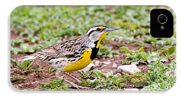 Eastern Meadowlark Sturnella Magna IPhone 4 / 4s Case by Gregory G. Dimijian