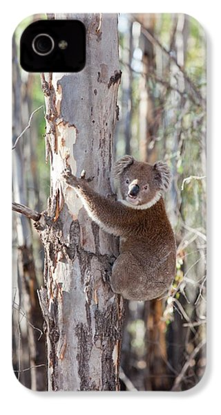 Koala Bear IPhone 4 / 4s Case by Ashley Cooper