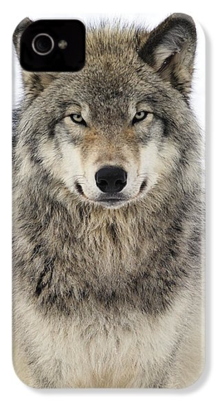 Timber Wolf Portrait IPhone 4 / 4s Case by Tony Beck