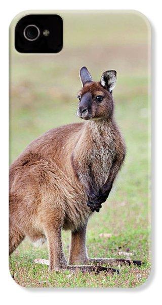 Western Grey Kangaroo (macropus IPhone 4 / 4s Case by Martin Zwick